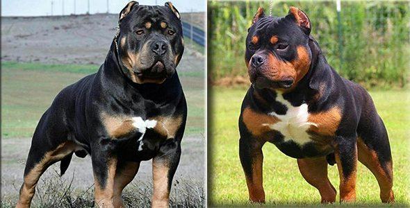 Rottweiler Pitbull Mix Breed