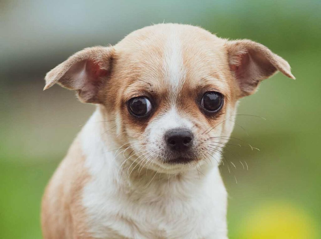 chichuahua with anxiety