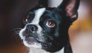 boston terrier breed portrait