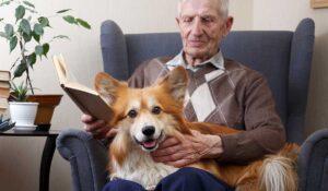 Corgi dog sitting on old man's lap