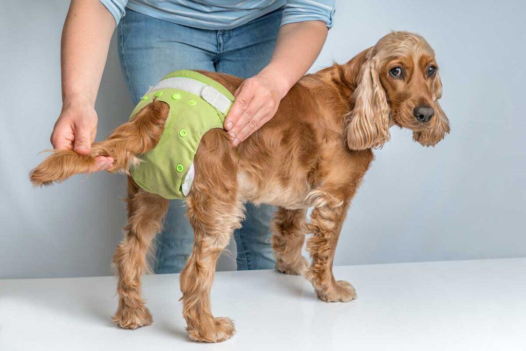 dog in a diaper
