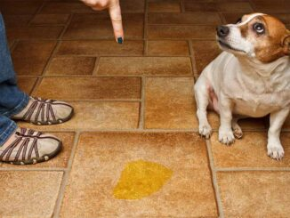 dog pee on the floor