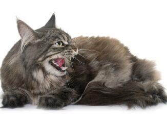 cat-yowling