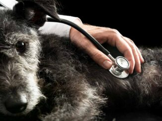 inspection of heart murmurs with older dog