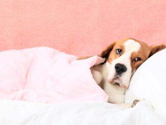 elderly dog in bed sick