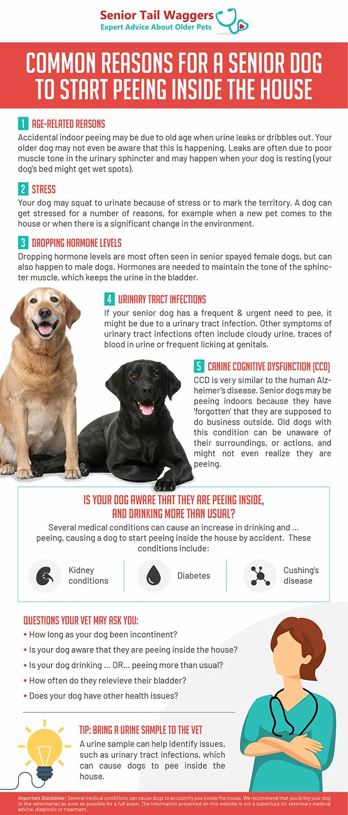 infographics about old dog peeing inside the house
