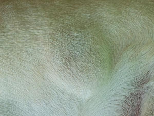 lipoma on a dog