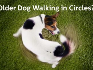 jack russell dog walking in circles