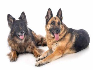 two old german shepherds