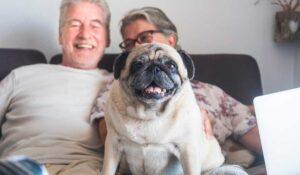 pug sitting on senior people's laps
