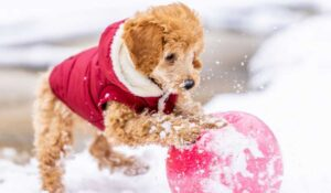 toy poodle playing with ball in the snow