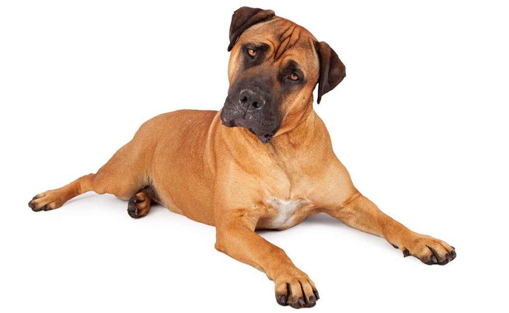older dog with vestibular disease tilting head